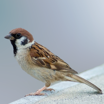 Sparrow programming language Logo